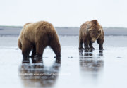Brown bear stand-off