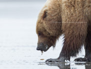 Brown bear clamming closeup 4