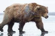 Brown bear male walking