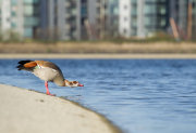 Egyptian goose drinking
