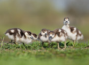 Five little goslings