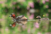 Little grebe and chick with flower reflections