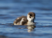 Egyptian gosling in water