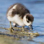 Egyptian gosling standing in shallows 2