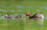 Little grebe feeding chick 2