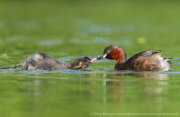 Little grebe feeding chick 3