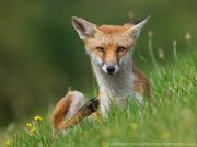 Fox scratching 2