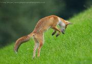 Fox jumping 1