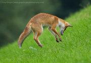 Fox jumping 2