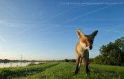 Wide angle fox cub 4