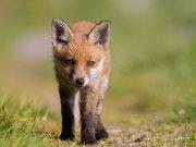 Curious fox cub