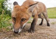 Wide angle fox cub 3