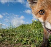 Fox cub selfie