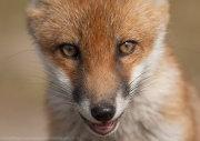 Fox cub eyes