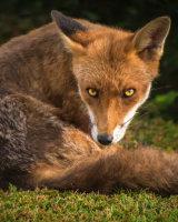 Fox Stare 1