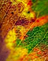 Autumn Rainbow Leaf