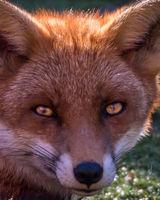 Fox Stare 2