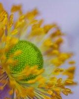 Purple Pastel Daisy