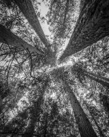 A Convergence of Trees