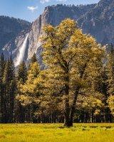 Backlit Tree With Upper Yosemite Falls