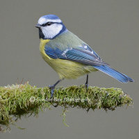Blue Tit on Mossy Perch