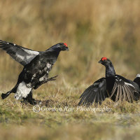 Black Grouse Lekking
