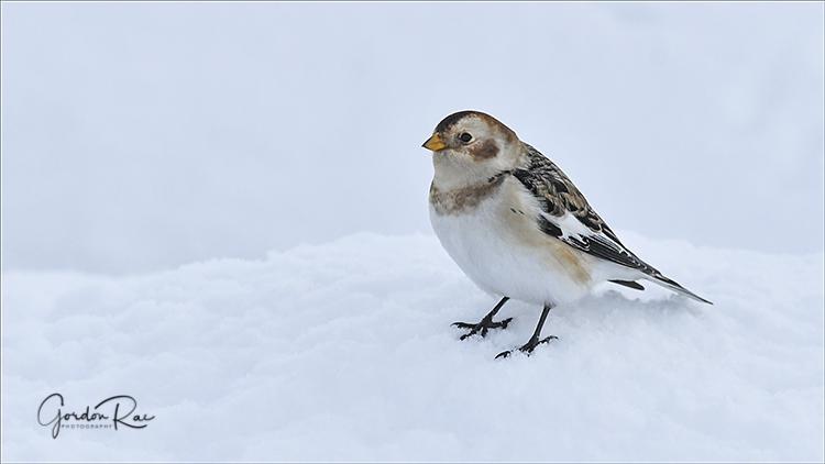 Snowbunting