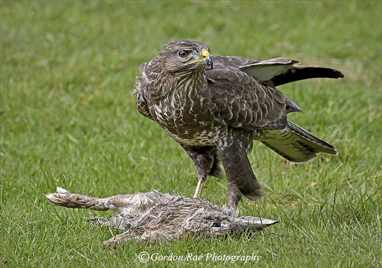 Buzzard on Kill