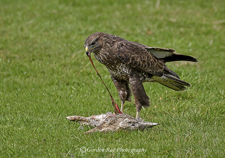 Buzzard Feeding