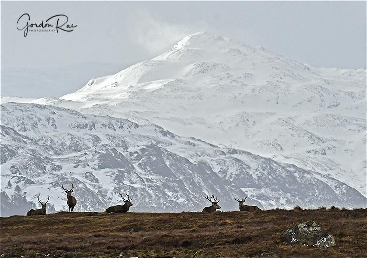 Red Deer in Landscape