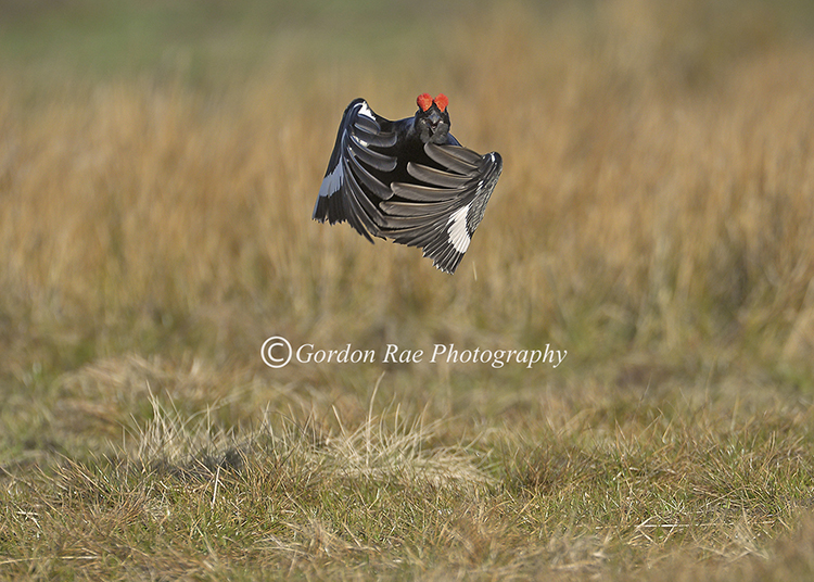 Black Grouse Jumping