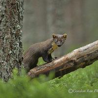 Pine Marten in Pine Forest