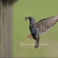 Starling Entering Nest