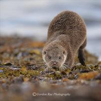 West Coast Otter