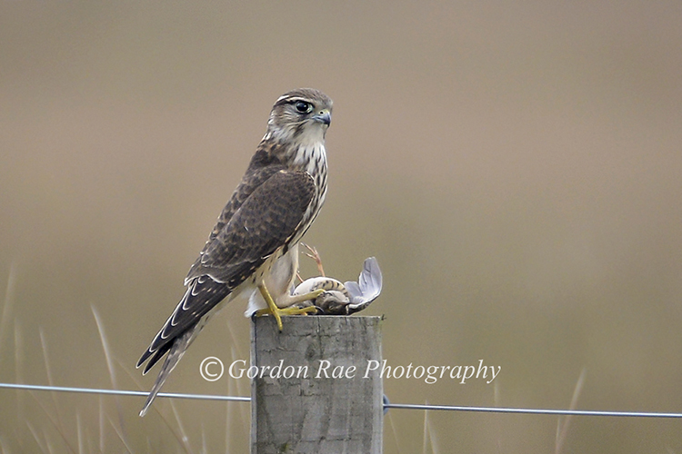 Wild Merlin with Meadow Pipit