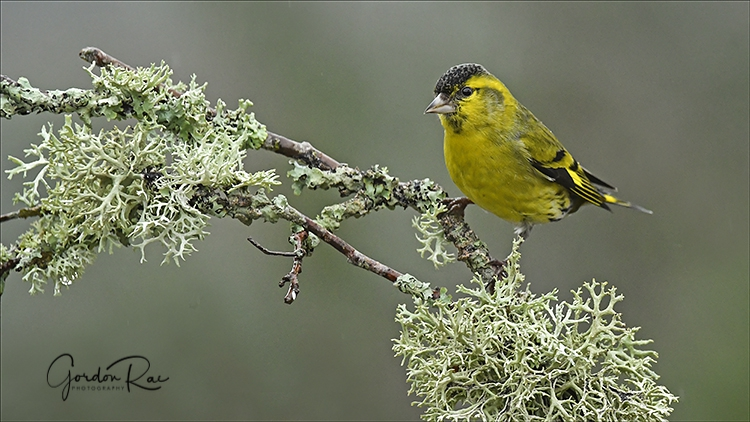 Siskin on Lichen Branch