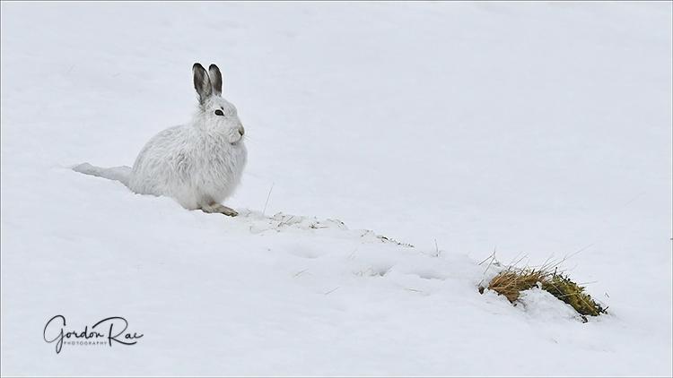 Mountain Hare on Hillside