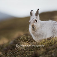 Mountain Hare on the Hilltop