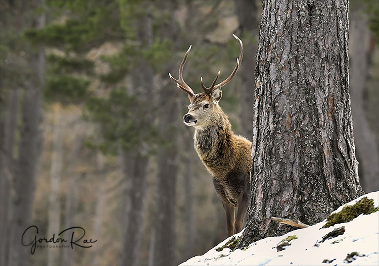 Red Deer in Pine Forest