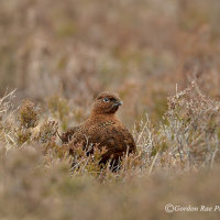 Red Grouse in Spring