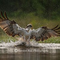 Osprey Fishing in Evening Light