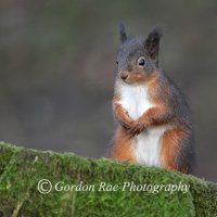 Red Squirrel 6