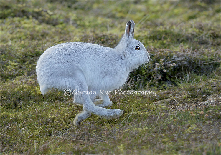 Running Mountain Hare