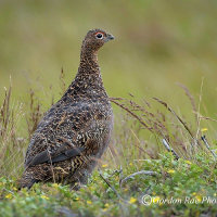 Red Grouse on Moorland