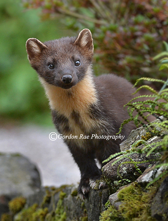 Wild Scottish Pine Marten