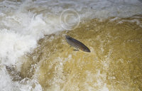 Brown Trout over brown water