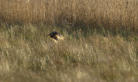 Hen Harrier hunting over wetland