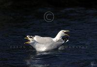 Herring Gull greeting