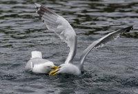 Herring Gull Fight