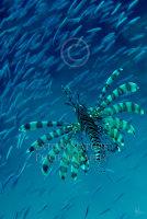 Lionfish stalking baitfish
